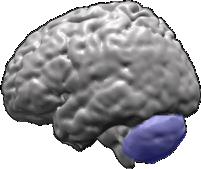 File:Brain-cerebellum.png