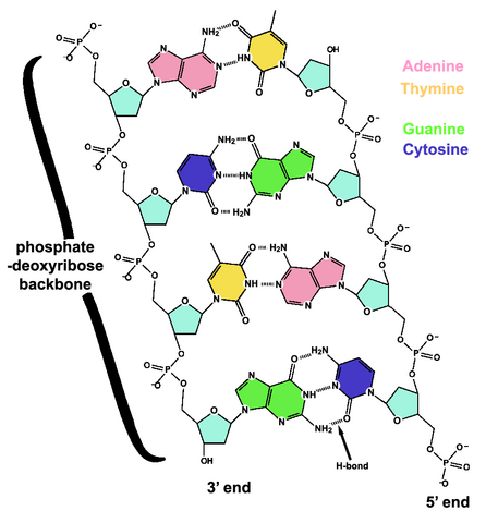 File:DNA chemical structure.png