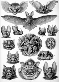Haeckel Chiroptera