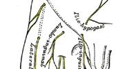 Patellar plexus