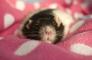 Cutest-Rats-33