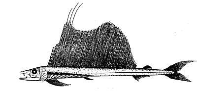 Longnoselancetfish