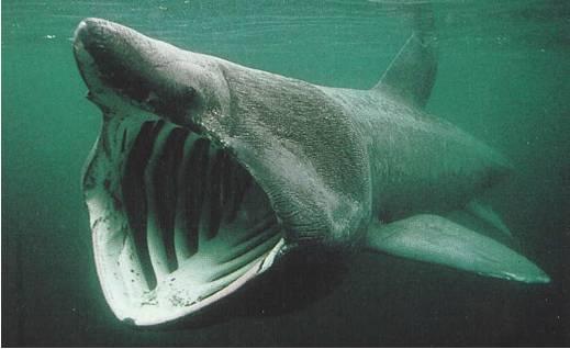 Basking shark AJ