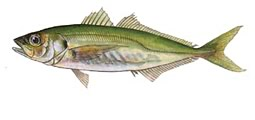 Jack mackerel