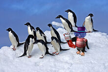Adelie-penguins-on-snow-lg