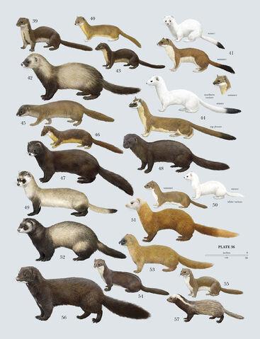 File:Various Weasels.jpg