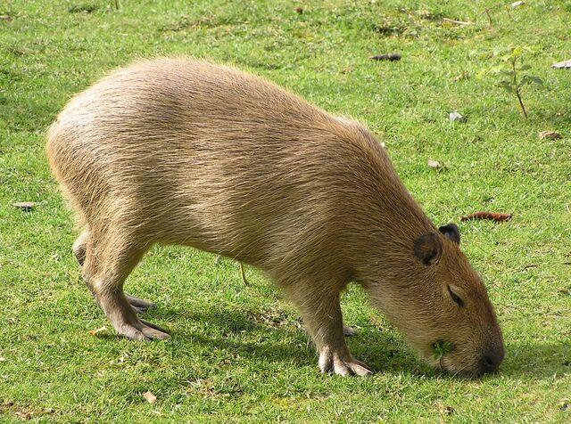 File:Joe Capybara.jpg