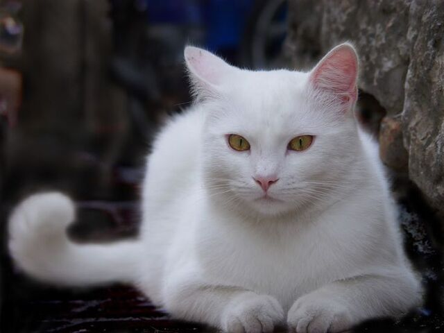 File:Alice the White Cat.jpg