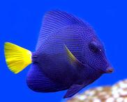 PurpleTang