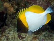 Pyramidbutterflyfish