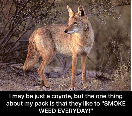 File:Coyote Smoke Weed Everyday meme.jpeg