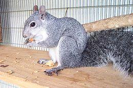 File:260px-Westerngraysquirrel.jpg