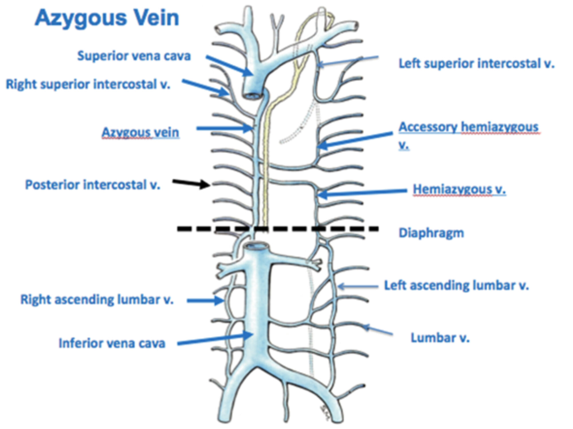 thorax:venous structure:azygous vein | ranzcrpart1 wiki | fandom, Human Body