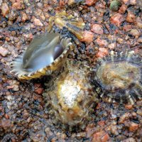 File:Limpets.jpg