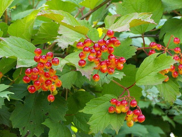 File:Guelder rose berries.jpg