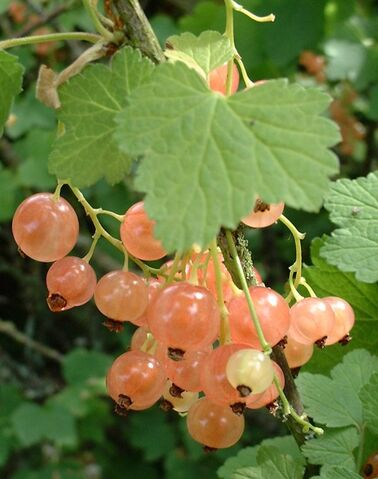 File:White currant.jpg