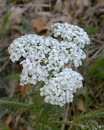 File:Yarrow.jpg