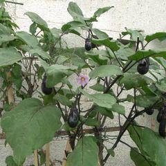 File:Chineggplant.jpg
