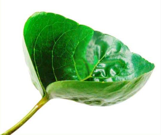 File:Cup leaf.jpg