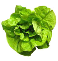 File:Boston lettuce.jpg