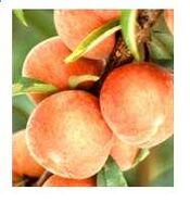 Peach v