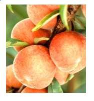 File:Peach v.jpg
