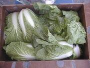 Cabbagenappa
