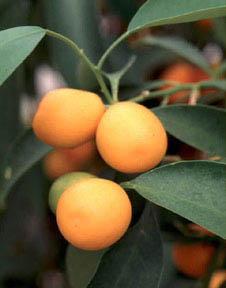 File:Kumquat.jpeg