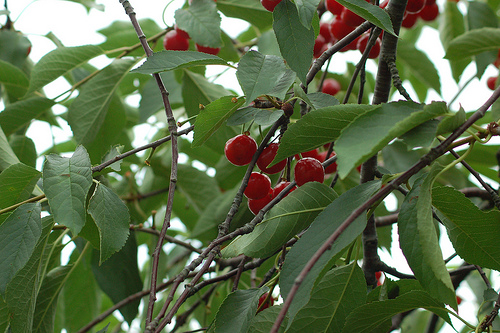 File:Sour Cherries.jpg