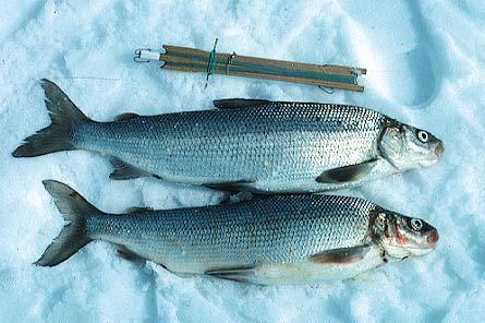 File:Whitefish.jpg