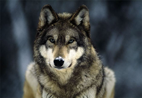 File:Grey-wolf-snow.jpg