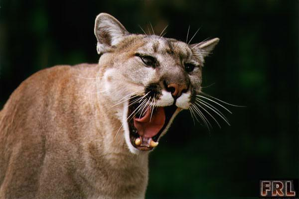 File:Real life Cougar.jpg