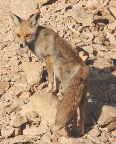 File:Desert-Fox.jpg