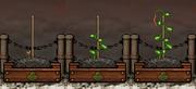 Bean Gardening