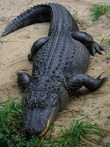 File:450px-American Alligator.jpg