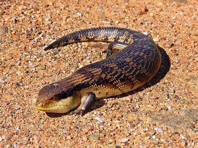 800px-Blue-toungued skink444