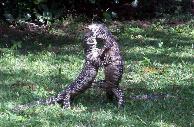 File:800px-Lace Monitors fighting.jpg