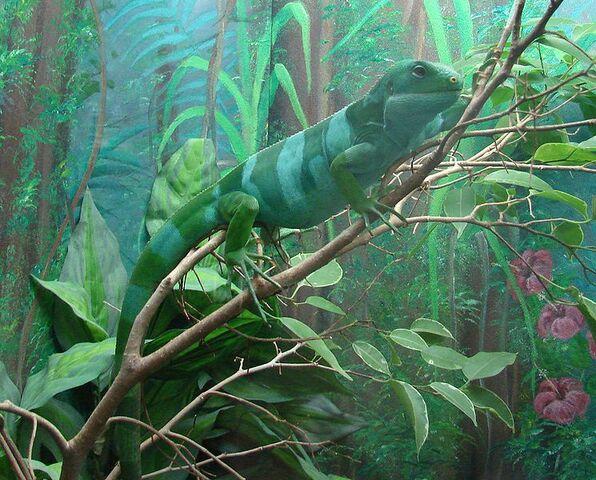 File:745px-Brachylophus fasciatus (Fijian Iguana).jpg