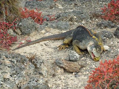 800px-Galapagos land iguana feeding