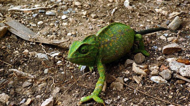 File:Common Chameleon.JPG
