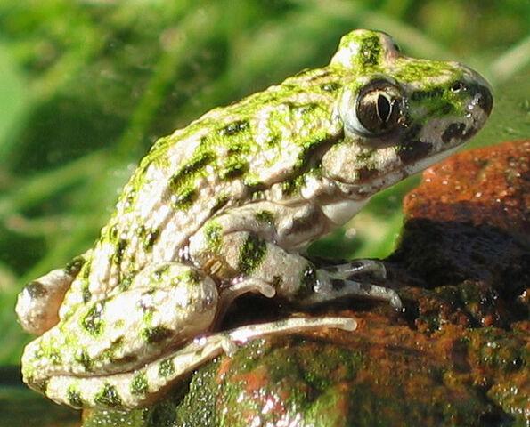 File:Pelodytidae.jpg