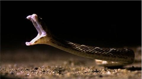 World's Deadliest Snake to Humans