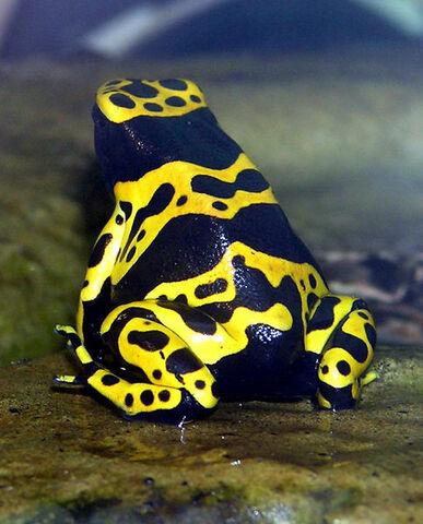 File:Bumblebee poison frog.jpg