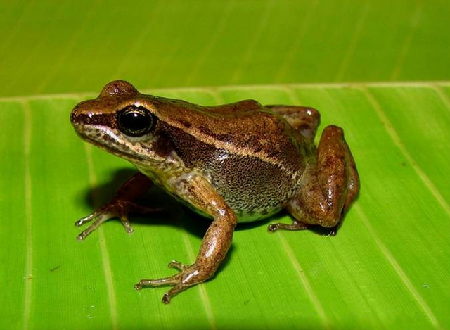 File:Peruvian Poison Frog.png