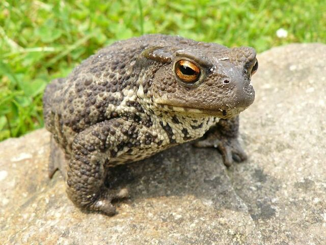 File:Common Toad 10.jpg
