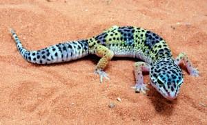 File:300px-Leopard-gecko.jpg