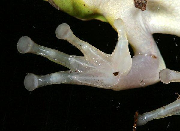 File:Red Eyed Tree Frog Foot.jpg