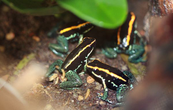 File:P. Vittatus Group.png