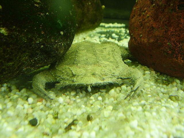 File:Surinam Toad 01.jpg