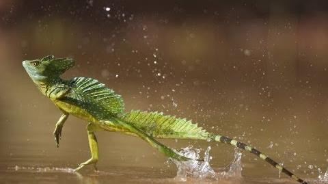 Lizard Runs on Water!